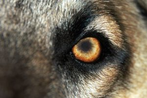 Picture of a dog's eye with the look of fear and danger.